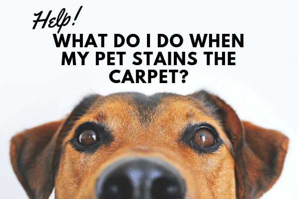 HELP! What Do I Do When My Pet Stains The Carpet?